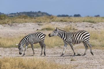 Kenia-Amboseli-Zebra-4943