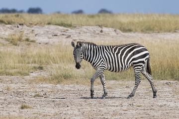 Kenia-Amboseli-Zebra-4941