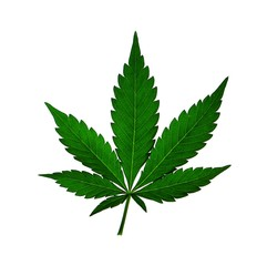 Marijuana hemp ganja cannabis herb plant leaf isolated on white