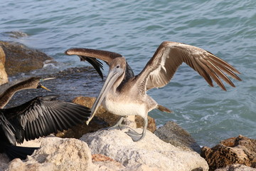 Landing Pelican