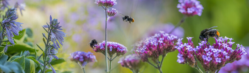 Photo sur Aluminium Bee bumblebees on garden flowers close up - macro photo