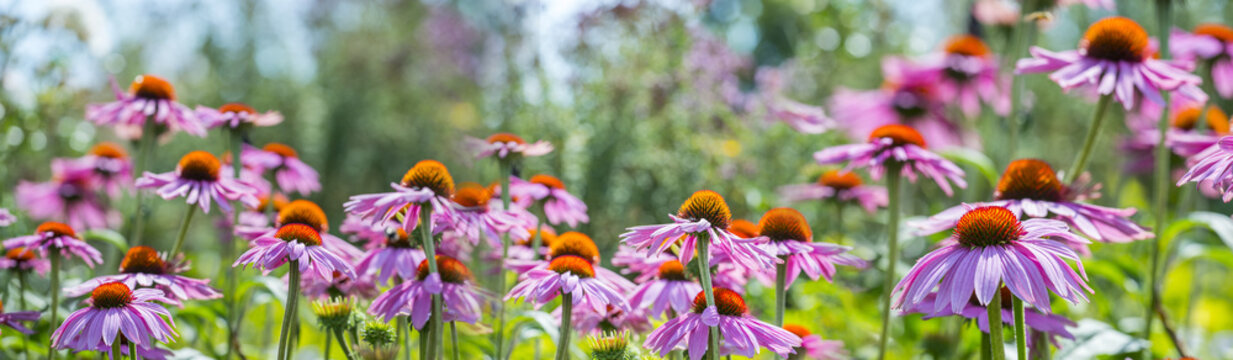 The panoramic view - Echinacea - coneflowers close up