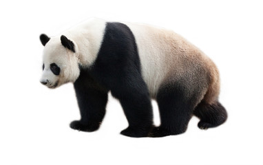 panda on white background.