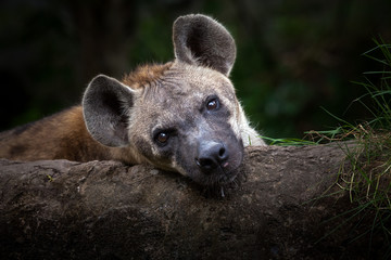 Fototapeten Hyane Hyenas is relaxing.