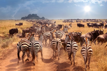 Wall Mural - African wild zebras and wildebeest in the African savanna.  Wild nature of Tanzania. Intence heat.