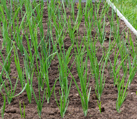 Green onions growing in the garden.