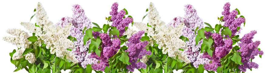 Spoed Fotobehang Lilac Row of bouquets of white and lilac and purple lilacs on a white background.