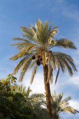 Date Palm at Golshan Garden, Tabas, Khorasan, Iran