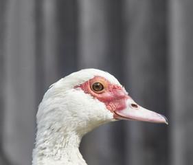 on a dark gray black background duck goose in profile muzzle beak teeth brown eyes copy space