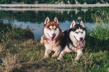Two Happy Husky Dogs. Portrait of pair huskies smiling. Copy space.