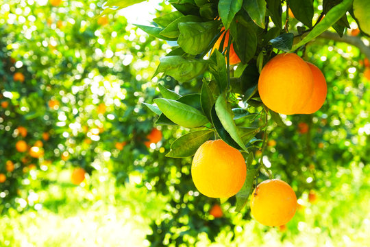 Close up of multiple organic ripe perfect orange fruits hanging on tree branches in local produce farmers garden. Beautiful oranges plantation in a daylight on sunny day, sun beams, natural light.