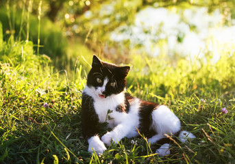funny cute cat lies on a summer sunny meadow and playing in the grass