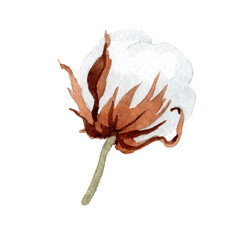 Wildflower white soft cotton. flower in a watercolor style isolated. Full name of the plant: cotton. Aquarelle wildflower for background, texture, wrapper pattern, frame or border.