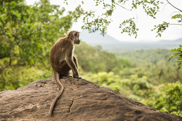 Toque macaque monkey sitting and looking at view at Sri Lanka.