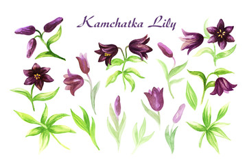 Hand drawn image of the Kamchatka lily on a white background. Northern wild flower. Watercolor painting.