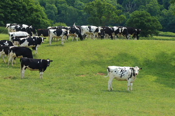 Wall Mural - Herd of British Friesian cows graze on a farmland in East Devon