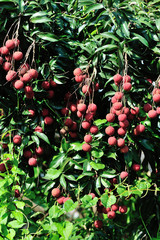 Lychee tropical fruits in growth on tree