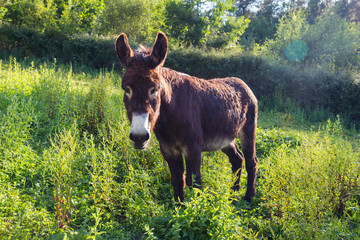 Fototapeta Portrait of a lovely fluffy donkey, Equus asinus, in the middle of the meadow. In a sunny morning.