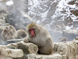 A check looking snow monkey sitting alongside warm thermal springs in Japan