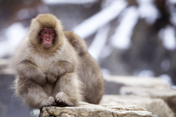 A baby snow monkey sitting on a rock ledge alongside a warm thermal spring in Japan