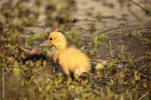 Baby Muscovy ducklings Cairina moschata flock