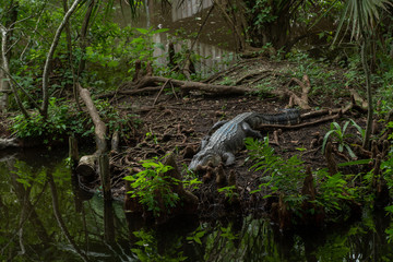 american alligator lounging on the banks of the bayou