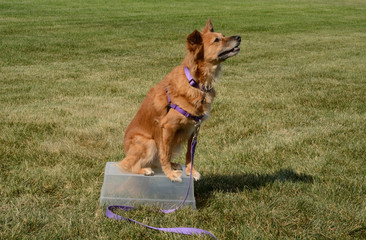 Brown mixed breed dog with all four legs on makeshift table practicing one trick for trick dog title