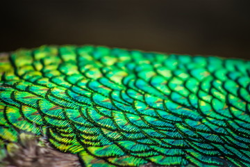 Abstract background image of a close up view of Peacock Feathers
