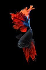 Betta fish, siamese fighting fish, betta splendens isolated on black background, fish on black background, fish fighting, Multi color Siamese fighting fish,