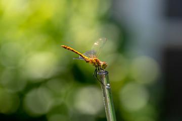 La belle libellule jaune de Parigné vue de profil