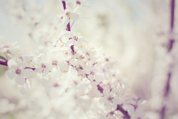 White Cherry Plum flowers or Prunus xerasifera flowers, cherry tree blossom. Closeup photo of white cherry flowers, soft focus.
