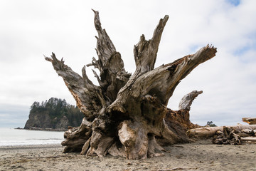 Massive driftwood log with huge roots washed ashore by the ocean