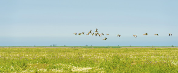 Geese flying in a blue cloudy sky in sunlight in summer