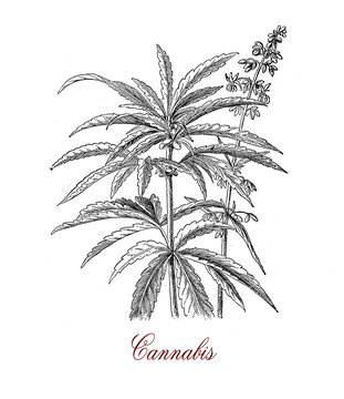 Vintage botanical print of Cannabis sativa plant: each part of the plant is harvested differently, the seeds for hempseed oil, flowers for cannabinoids consumed for recreational and medicinal purpose
