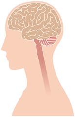 横向きの脳のイメージ