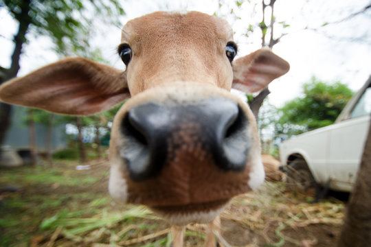 Cow on a grass in India. Indian  Travel photoshoot. Natural background. Indian holy animal. Cute portrait of cow. Young calf.