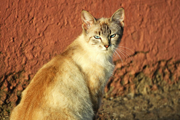 Cat with blue eyes in the sunset.