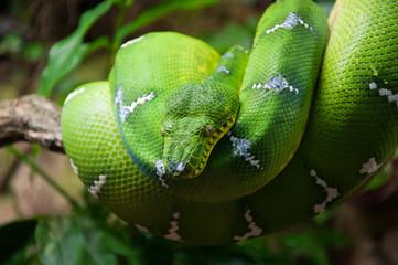 Green tree python Morelia Viridis macro