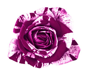 flower eggplant  white rose isolated on white background. Close-up.  Element of design.