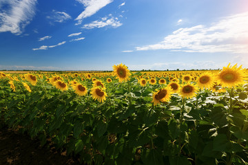 sunflower field summer landscape / bright summer day sunflowers absorb sunlight