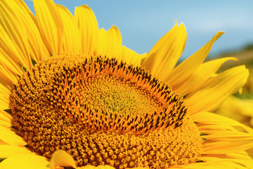 sunflower head large / bright summer photo with shallow depth of field