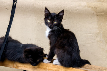 Two black kittens sit on a wooden stick