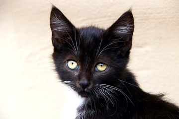 Portrait of a black kitten