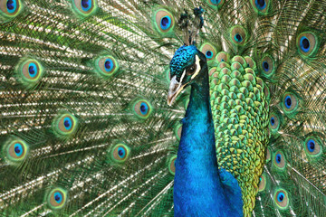 Beautiful wooing peacock from close-up. Fantastic colors and patterns.