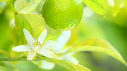 Fotoväggar - Ripe limes hanging on a tree. Healthy organic juicy fruits growing in sunny orchard. 4K UHD video 3840X2160
