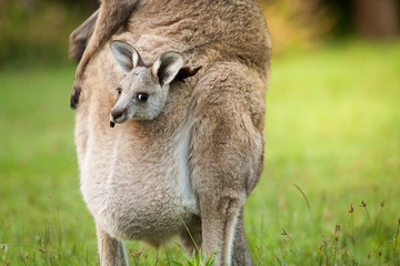 An Australia wild baby kangaroo in a mom's front bag, close up.