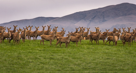 Group of wild deer standing on hill in New Zealand