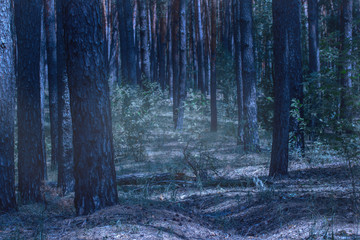mystical glow in the night pine forest with tall trees