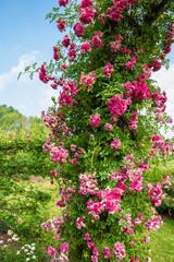 "Climbing rose ""Dorothy Perkins"""