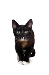 Front view picture of a walking black kitten